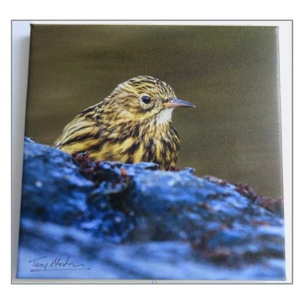 Canvas Photo Print: South Georgia pipit by Tony Martin